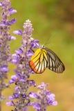 Kleurrijke Vlinder & Bloem (Geschilderde Jezebel) Stock Foto