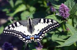 Kleurrijke vlinder op katachtig methyl royalty-vrije stock fotografie