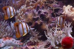 Kleurrijke vlinder-vissen Sixspine en zeester Stock Afbeeldingen