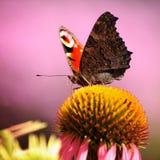 Kleurrijke vlinderinacnhis io stock foto's