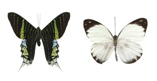 Kleurrijke vlinders over een witte achtergrond. Stock Afbeelding