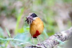 Kleurrijke vogel & x28; Blauwe gevleugelde pitta& x29; het eten van aardwormen in bossen Royalty-vrije Stock Afbeelding