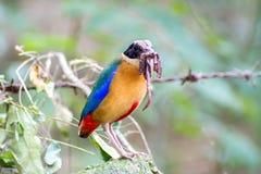 Kleurrijke vogel & x28; Blauwe gevleugelde pitta& x29; het eten van aardwormen in bossen Royalty-vrije Stock Afbeeldingen
