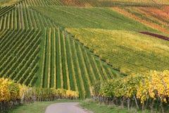 Kleurrijke wijngaarden tijdens de oogst van wijndruiven royalty-vrije stock afbeelding