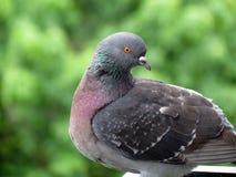 Kleurrijke wilde duif royalty-vrije stock fotografie