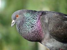 Kleurrijke wilde duif stock foto