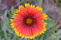 Kleurrijke wildflower Stock Afbeelding
