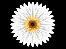 Kleurrijke witte gerberabloem Royalty-vrije Stock Foto's
