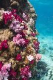 Kleurrijke zachte koralen (Dendronephthya SP.) Stock Afbeelding