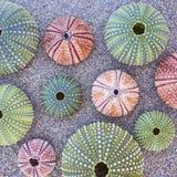 Kleurrijke zeeëgels op het strand Stock Foto's