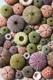 Kleurrijke zeeëgelshells Royalty-vrije Stock Afbeelding