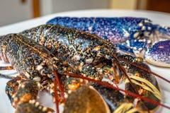 Kleurrijke zeekreeften Stock Foto's