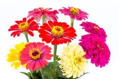 Kleurrijke Zinnias Royalty-vrije Stock Foto's