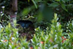 Kleurrijke zwarte en geborstelde blauwe vlinder Stock Afbeelding