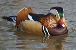 Kleurrijke zwemmende mandarin eend royalty-vrije stock fotografie