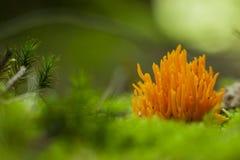 Kleverig koraalzwammetje; Żółty staghorn grzyb; Calocera visco zdjęcie stock