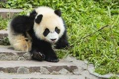 Kliande behandla som ett barn pandan Arkivbilder