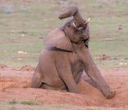 Kliande elefant som har en satisfying skrapa Arkivbilder