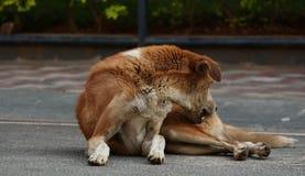 Kliande skrapa för hund Royaltyfria Foton