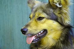 Klibbade den härliga inhemska hunden för rödhåriga mannen ut hans tunga fotografering för bildbyråer