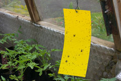 Klibbig klipsk fälla inom ett växthus Arkivbild