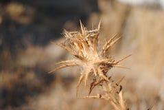 Klibbig växt Fotografering för Bildbyråer