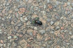 Klik kever op het asfalt stock afbeeldingen