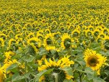 Feld der blühenden gelben Sonnenblumen zum Horizont Lizenzfreie Stockfotos