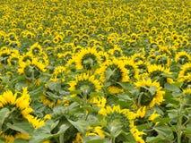 Feld der blühenden gelben Sonnenblumen zum Horizont Stockbilder