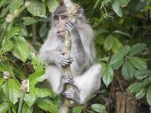 Klimaporträt des jungen Affen in Ubud-Wald, Bali, Indonesien Stockbilder