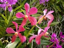 klimatblomma som växer rött tropiskt för orchid Arkivbild
