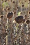 Klimatförändring torka i solrosfält royaltyfria foton
