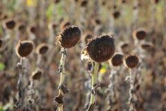 Klimatförändring torka i solrosfält royaltyfri bild