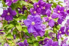 Klimatis purple flower Stock Photos