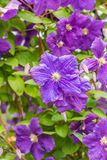 Klimatis purple flower. Bush blooming klimatis in the sky Royalty Free Stock Images