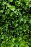 Klimop 2 Stock Foto