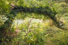 Klimop behandelde boom Stock Afbeeldingen