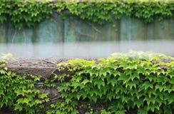 Klimop Behandelde Muur Stock Foto's