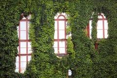 Klimop-beklede muren Stock Foto's
