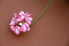 Klimop-blad Geranium Stock Foto