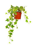 Klimop in bloempot Royalty-vrije Stock Afbeeldingen