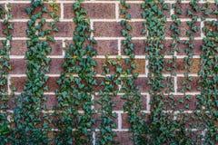 Klimop die Bakstenen muur beklimt Royalty-vrije Stock Fotografie