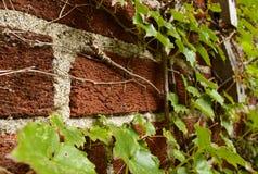Klimop die op een bakstenen muur beklimmen Stock Fotografie