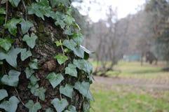 Klimop die op een boom in het park beklimmen Stock Afbeeldingen