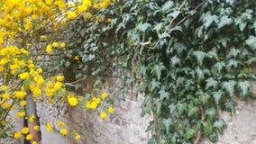 Klimop en gele struik royalty-vrije stock fotografie