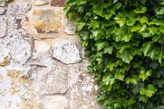 Klimop en oude muur Royalty-vrije Stock Foto's