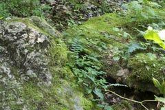 Klimop en varens tussen twee rotsen Stock Afbeeldingen