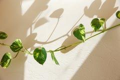 Klimop groene bladeren stock fotografie