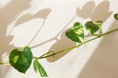 Klimop groene bladeren stock afbeelding
