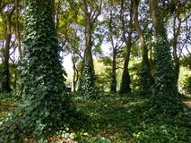 Klimop het climing op bomen Royalty-vrije Stock Foto's